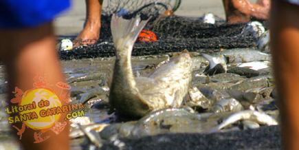 Pesca da Tainha em Itapema, Santa Catarina - Foto: Flávio Fernandes - LitoraldeSantaCatarina.com