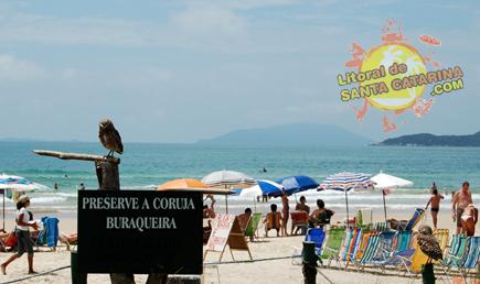 Coruja buraqueira de Mariscal em Bombinhas Santa Catarina