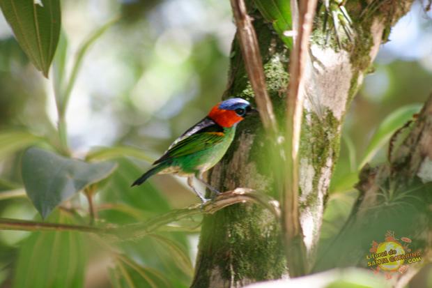 Pássaro no meio da mata, subindo para o morro do urubu na guarda do embaú, Palhoça, Santa Catarina - Foto: Flávio Fernandes - LitoraldeSantaCatarina.com