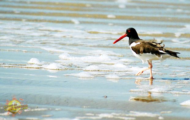 Ave se refrescando na praia de palmas em Governador Celso Ramos, Santa Catarina, Brasil - Foto: Flávio Fernandes - LitoraldeSantaCatarina.com