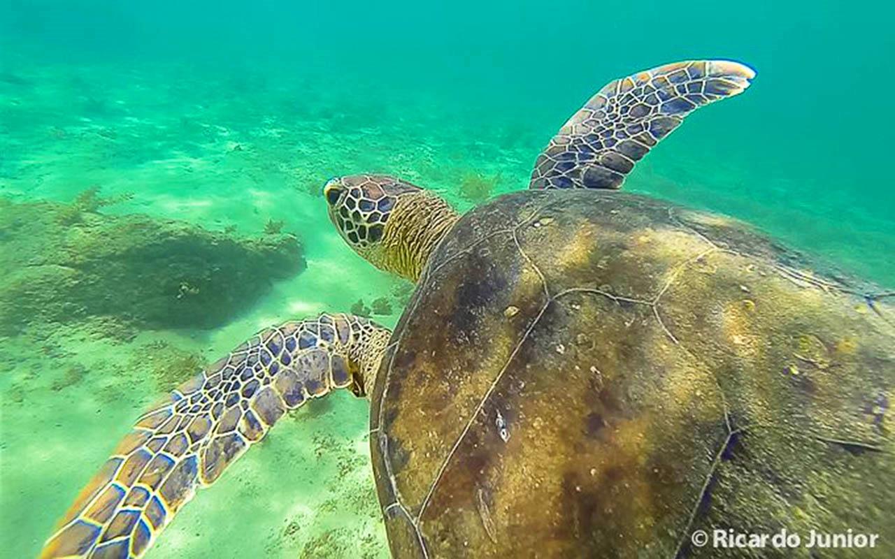 Imagem mergulho com tartarugas na ilha do arvoredo – Foto de Ricardo Junior / www.ricardojuniorfotografias.com.br